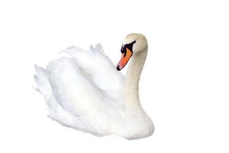 curvature: Swan Stock Photo
