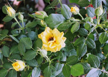 Small and beautiful rosebush of yellow flowers