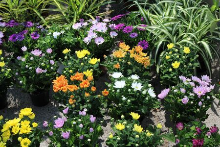 Pots with small bushes of chrysanthemum in flower of different colors
