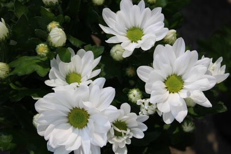 Beautiful bush with many white chrysanthemum flowers 写真素材