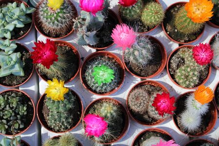 Small pots with all kinds of cactus in bloom 写真素材