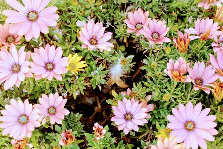 Beautiful bush with many pink chrysanthemum flowers 写真素材