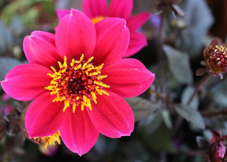 Small and beautiful bush with pink chrysanthemum flower 写真素材