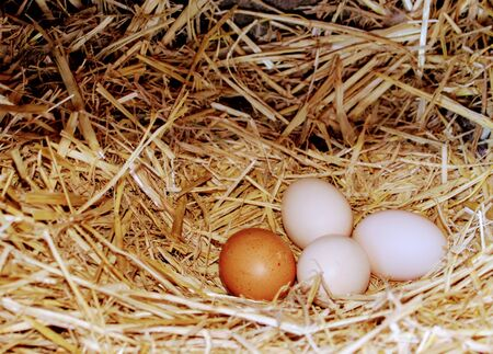 Straw nest with white and brown chicken eggs