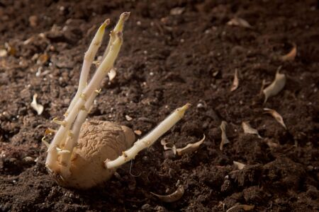 sprouted: sprouted potatoes with long sprouts in the ground