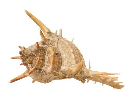 sea shell with spikes on white background