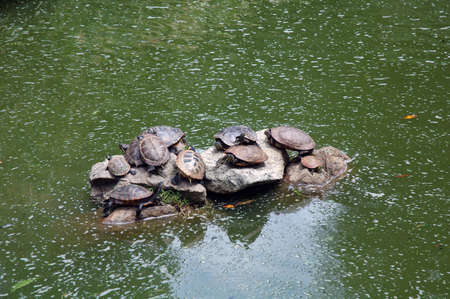 Many turtles sat on the rock in the middle of a pound photo