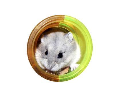 russian hamster: Campbell