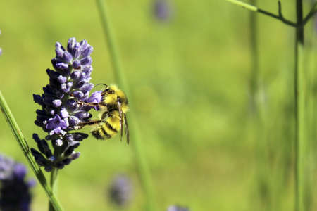 Black and yellow striped bee pollinates lavender flower