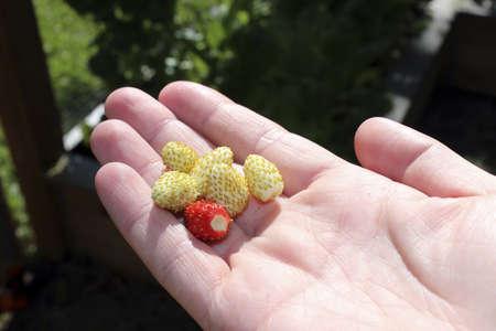 バック グラウンドで庭と赤と白のイチゴを持っている手 写真素材