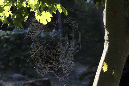 raggedy: Slightly ragged spiderweb framed by a maple tree. Stock Photo