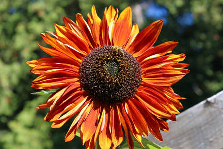 Red and orange sunflower with a bee harvesting pollen in the sunshine.