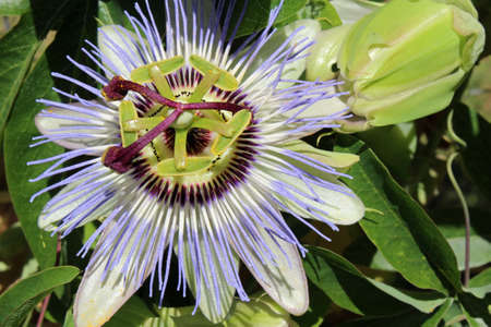 Closeup of a purple passionflower photo