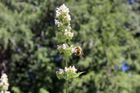 Flowering catnip plant being pollinated by a busy bee
