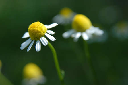 named:  These flowers are  named camomile,horse gowan or matricari  The drug plants are situated on green background