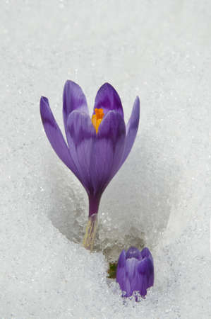 Violet crocuses have struggled through the snow. People associate  these bright flowers with spring. photo