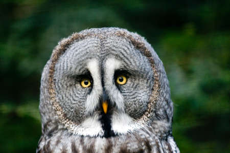 raptorial: This is siberian gray owl. It is raptorial nocturnal bird. Stock Photo