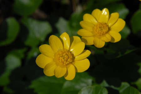 Lesser celandine (Ranunculus ficaria) is a  spring plant with bright yellow flower and  dark green leaves. Yellow petals  and stamens are clearly seen against the green background. Stock Photo - 16018455