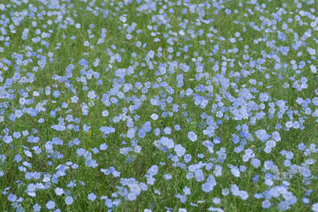 This is field of wild flax. Botanic name of these flowers is mother of thousands. Stock Photo