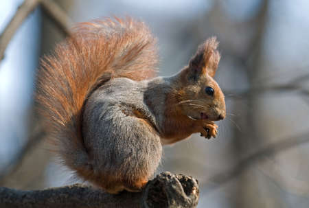 pelage: Bushy squirrel puts its talons together and sits on the branch. Squirrels pelage is red and gray. Stock Photo