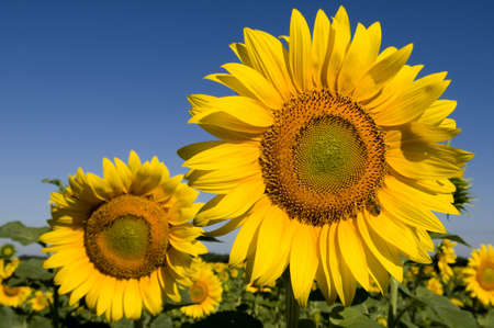 Sunflowers are captured on photo on the blue sky background. The bee gathers nectar from sunflower. photo