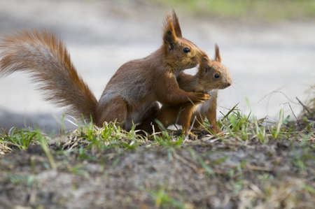 The squirrel wound the joey in its paw with the aim of holding down  Animals is situated on  the grass  photo