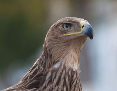 The Tawny Eagle  Aquila rapax  is a large bird of prey  The eagle looks at with a stern intensity  photo