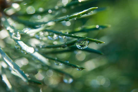 glint: Water tears on the pine needles glint in the sun  It is morning