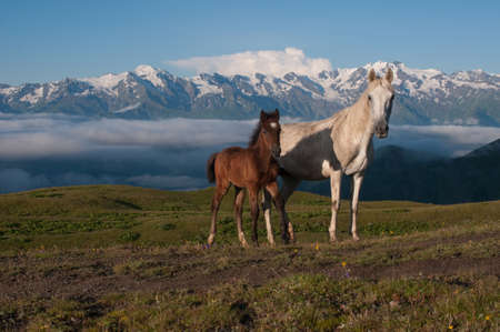 White beautiful horse with its foal are situated against the high mountains  This is a morning on the Alpine pastures  photo