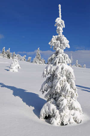 wilderness area: This is cheerful winter day  Fir-tree covered with frost and snow is in the foreground