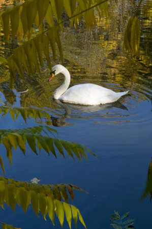 White swan is swimming on the lake. Autumn trees glass themselves in the pond. photo