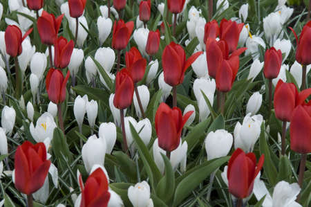 disign: This is mosaic of red tulips and white crocuses  Such disign is characteristic for Holland parks