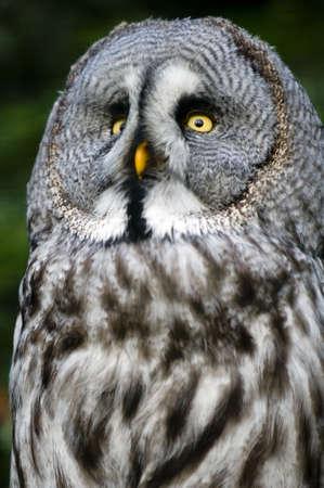 raptorial: This is siberian gray owl.It is raptorial nocturnal bird.