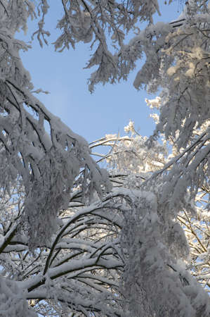 Snow-covered trees are situated against the blue sky. This is a worm's-eye view. photo