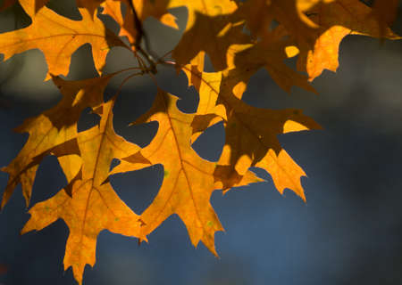 sun drenched: Sunlight shines through bright oak-tree leaves  Highly coloured leaves stand out against the dark background
