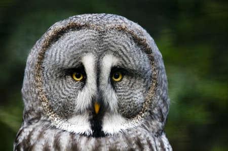 raptorial: This is siberian gray owl  It is raptorial nocturnal bird  Stock Photo