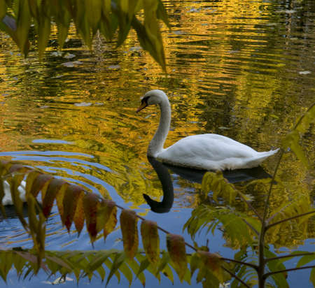 White swan is swimming on the lake  Autumn forest glasses themselves in the lake  photo