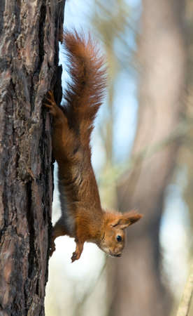 disquieted: Red Squirrel upside-down hangs on the tree  The animal is disquieted
