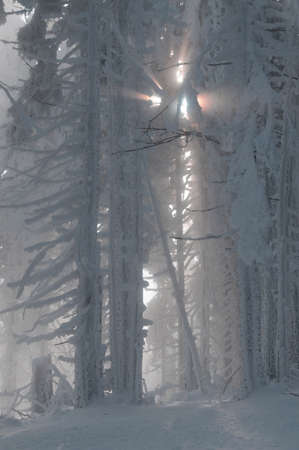 This is a winter forest  Sun rays struck through the frost trees  photo