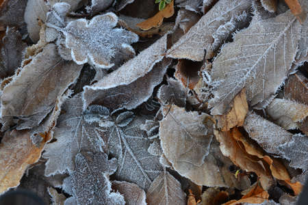 hoar frost: This is a frozen leaves background  Thick crystals of hoar frost are seen on the leaves