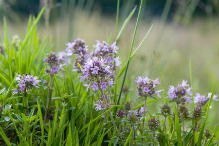 thyme: Deze zomer bloem is een tijm Tijm is een van de verschillende soorten van culinaire en medicinale kruiden van het geslacht Thymus, meestal Thymus vulgaris