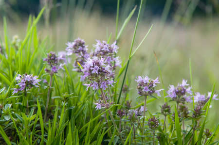 This summer flower is a thyme  Thyme is any of several species of culinary and medicinal herbs of the genus Thymus, most commonly Thymus vulgaris Reklamní fotografie - 17035600