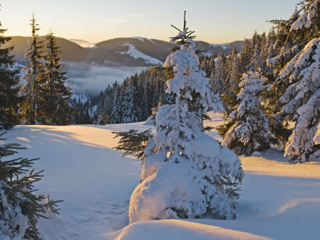This is a sundown in barrow  Fir-trees covered with snow are looked golden in the slanting rays of the setting sun  Stock Photo