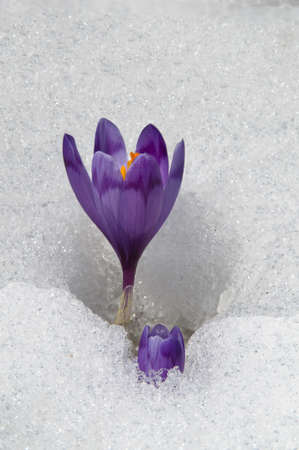 Violet crocuses have struggled through the snow  People associate  these bright flowers with spring  photo