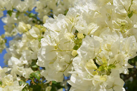 southward: This is a great many  bougainvillea flowers  The Bougainvillea  beautifies southward countries