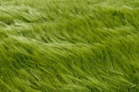 This is a green wheat field  The spikelets are leaning in the wind  Stock Photo