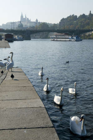citytrip: This is an embankment of Vltava river, Prague  Swans are waiting for tourists with food