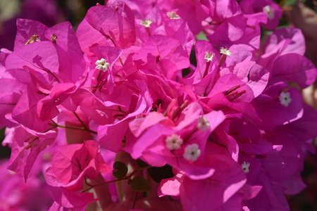 Bougainvillea is a genus of flowering plants  They are evergreen where rainfall occurs all year, or deciduous if there is a dry season  photo
