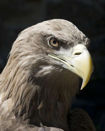 The Steppe Eagle  Aquila nipalensis  is a bird of prey  The eagle is formidability  photo