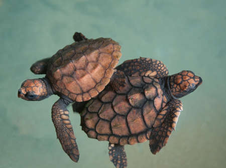 Two turtlet  two days old   swim in the water  These animals are bred in turtlet